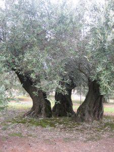 olivos-centenarios