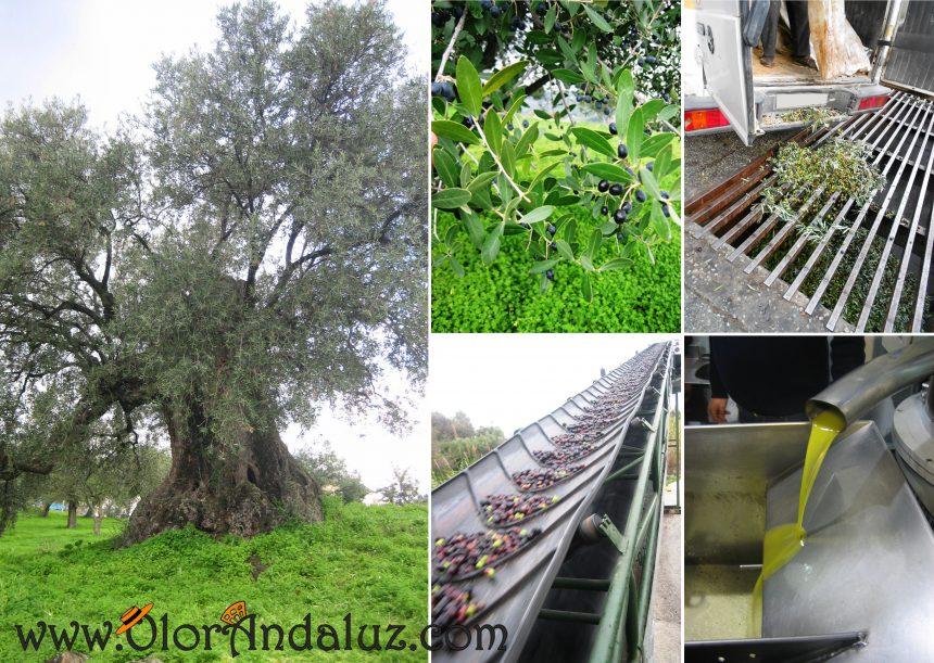 olivo-milenario-monda