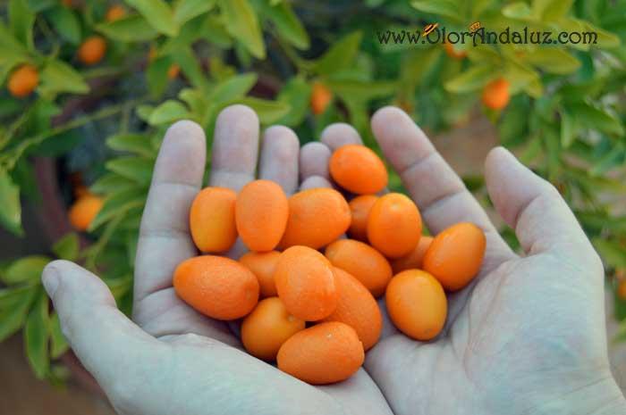 Kumquats o naranjas chinas